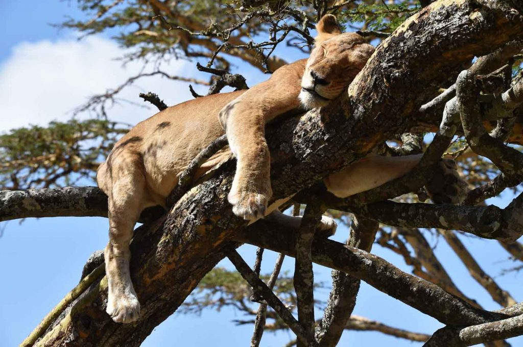 lion asleep in tree