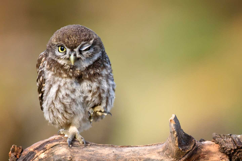 Owl on one leg
