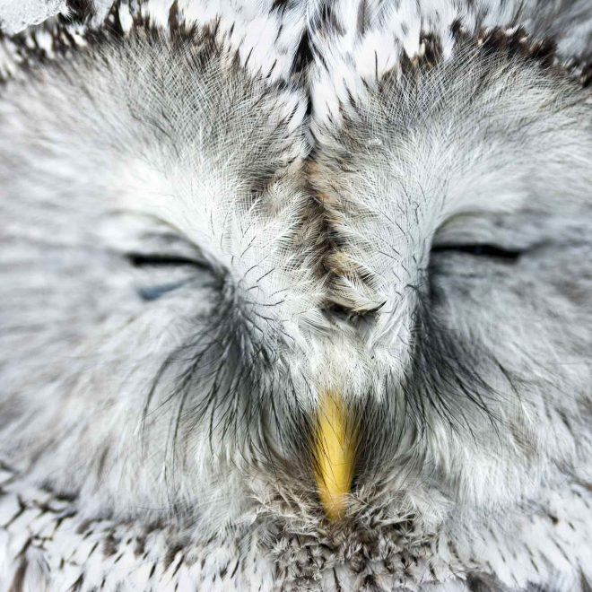 Sleeping owl